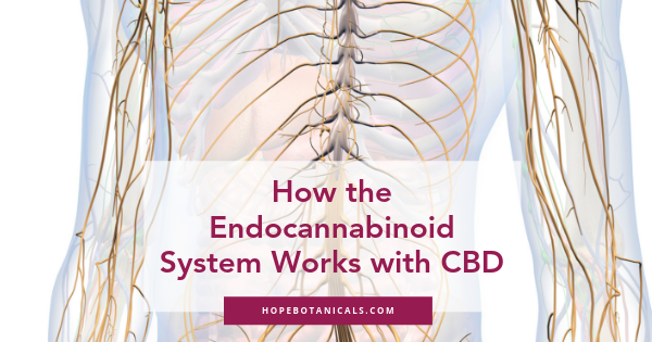 how the endocannabinoid system works with CBD